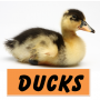 Toddler activities, games, crafts, videos of animals: DUCKS!